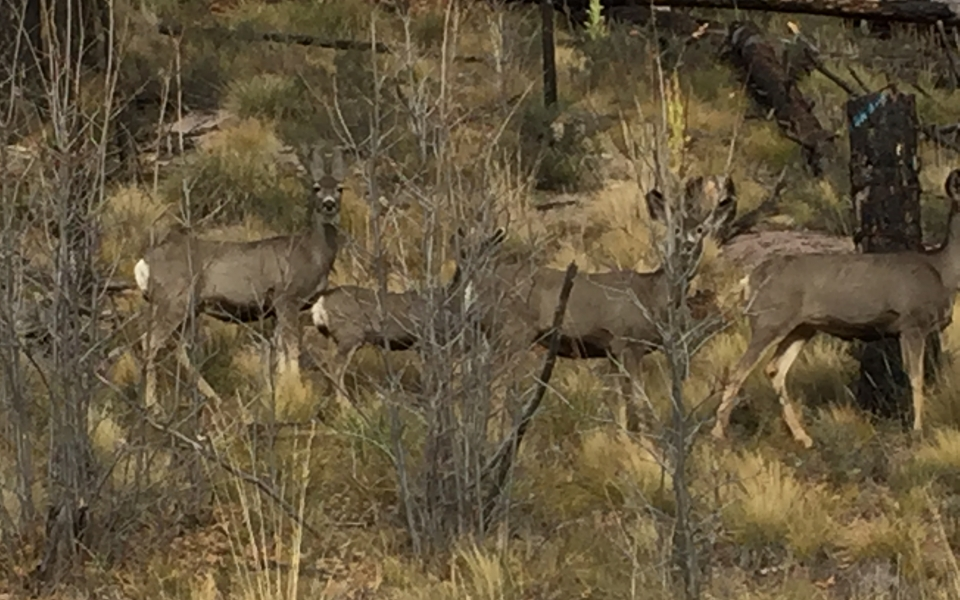 Mule Deer in Arizona